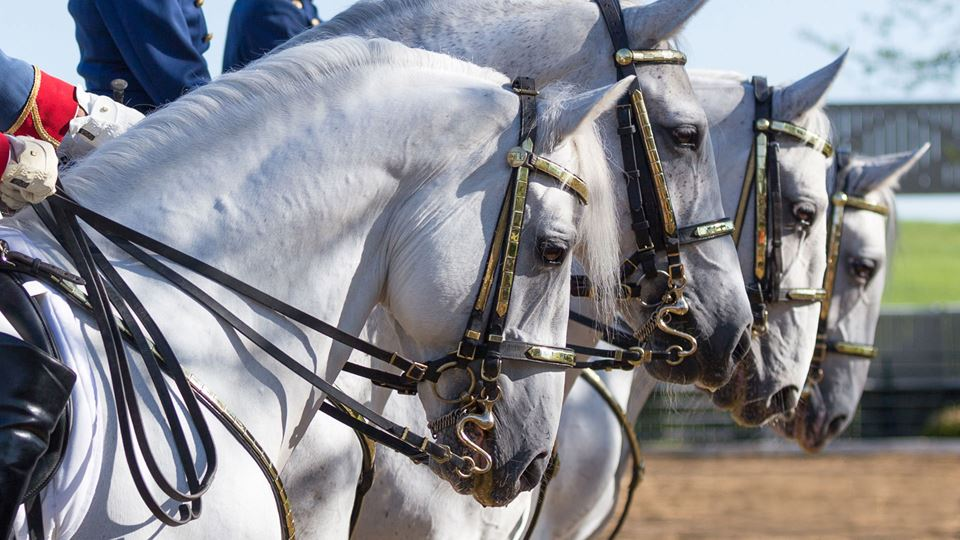 The Tempel Lipizzans
